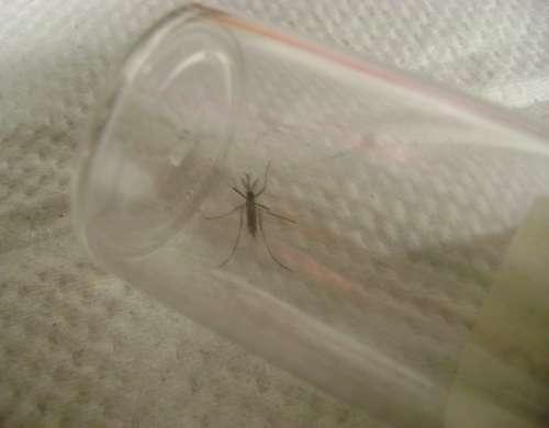 colecta de mosquitos