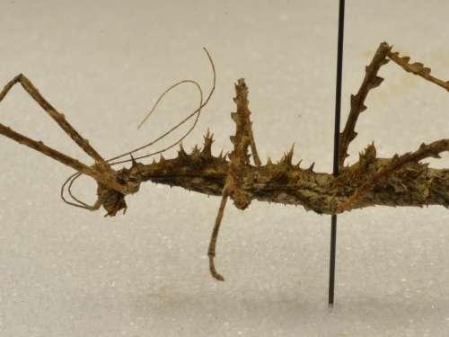 Laciniobethra aculeata Conle, Hennemann & Gutiérrrez, 2011