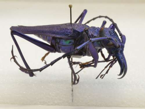 Psalidognathus sp.