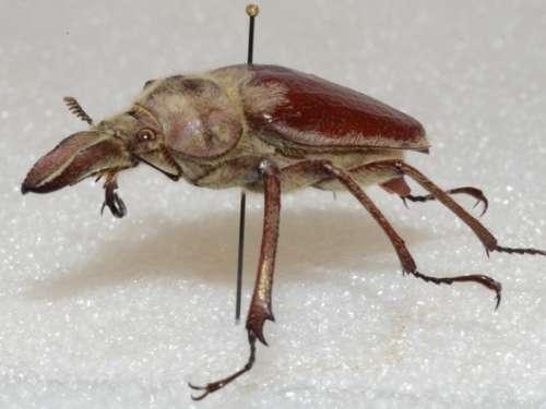 Sphenognathus sp.