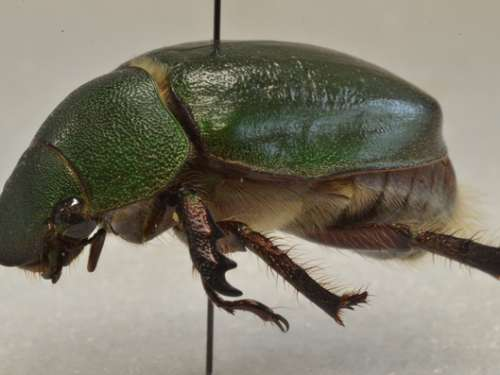 Spodochlamys poultoni (Shipp, 1895)