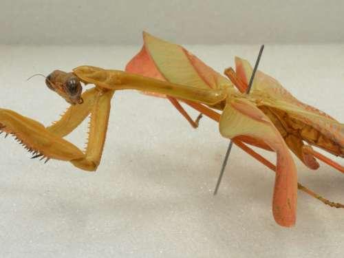 Stagmatoptera sp.