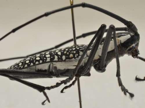 Steirastoma prob. histrionica W.