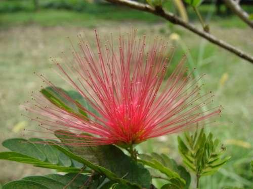 Calliandra medellinensis