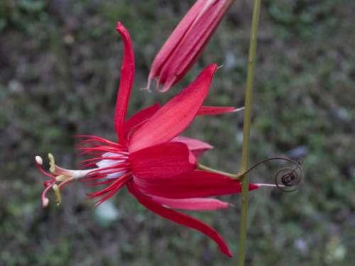 Pasiflora vitifolia