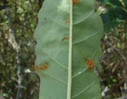 Chardoniella gynoxidis síntomas