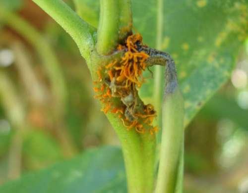 Chardoniella gynoxidis síntomas (2)