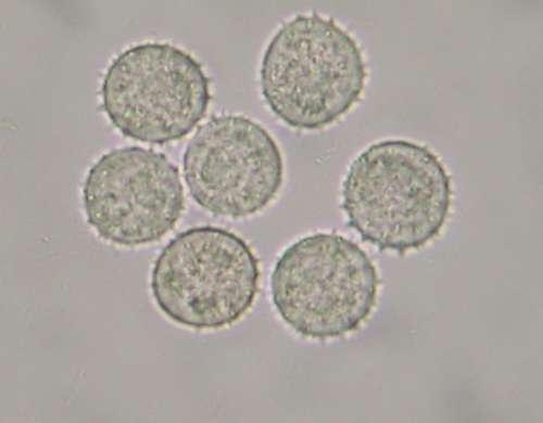 Sphenospora pallida II