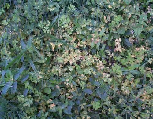 Puccinia oxalidis síntomas