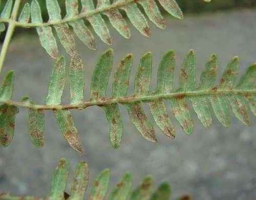 Uredinopsis   pteridis síntomas