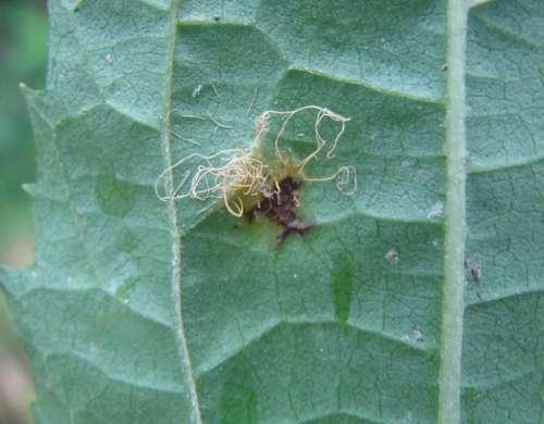 Cionothrix praelonga síntomas